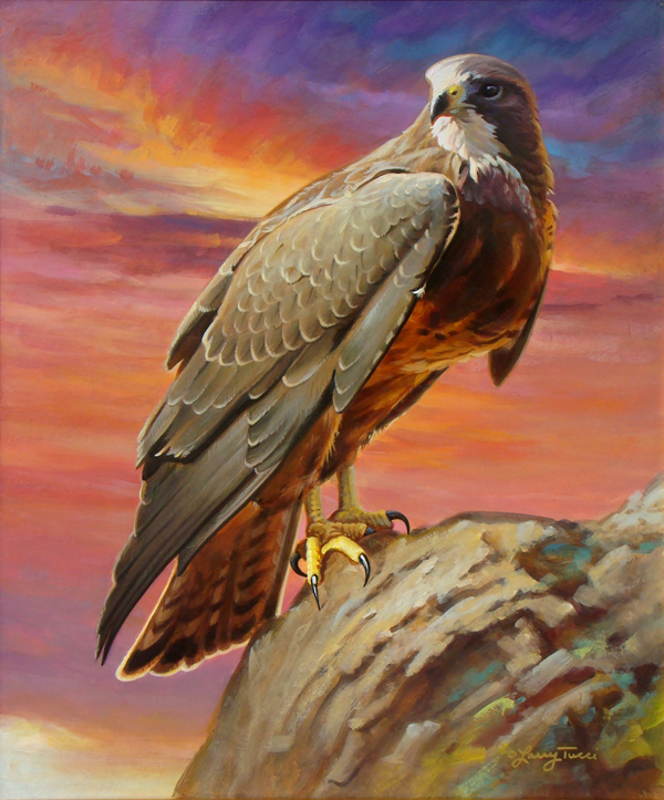 tucci - a new beginning - swainson's hawk
